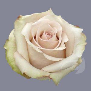 quicksand rose Ecuador